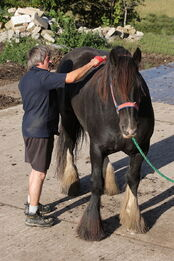 800px-Horse grooming-1-