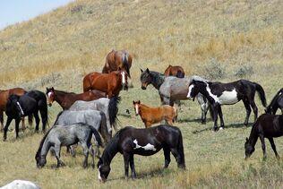 Feral-horses-861684 960 720-1-