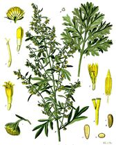 800px-Artemisia absinthium - Köhler–s Medizinal-Pflanzen-164-1-