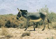 1024px-Equus africanus somaliensis-1-