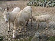 1024px-Weße Esel im Tierpark Stralsund-1-
