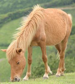 Misaki Pferd