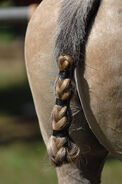 800px-Polo horse tail taped-1-