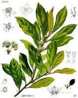 Laurus nobilis - Köhler–s Medizinal-Pflanzen-086-1-
