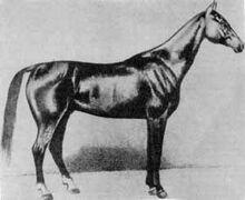 Akhal-Teke Boynou born 1885-1-