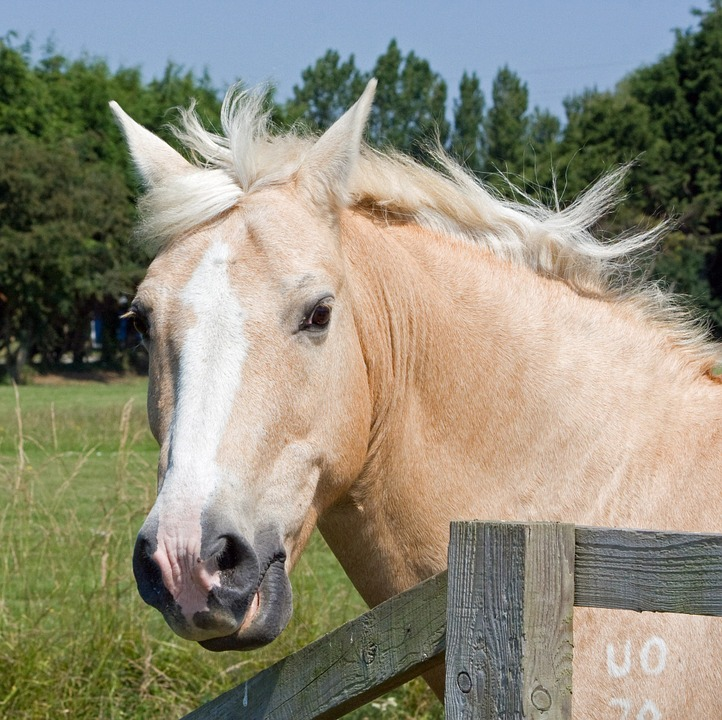 Palomino Pferde