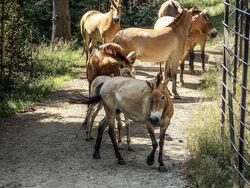 Wildpferde Beispiel Przewalski-Pferd