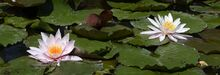 Water-lily-2488847 960 720-1-