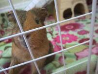 IzzyFan's guinea pig 4