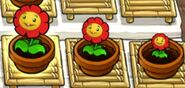 Plant- Red Marigold- Stages
