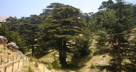 1024px-Lebanon cedar forest