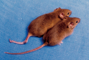 800px-Cloned mice with different DNA methylation