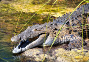American Crocodile in Jamaica