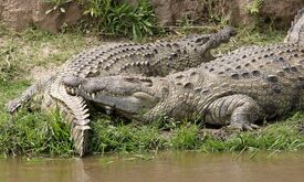 Nile croc couple 690V1510 - Flickr - Lip Kee