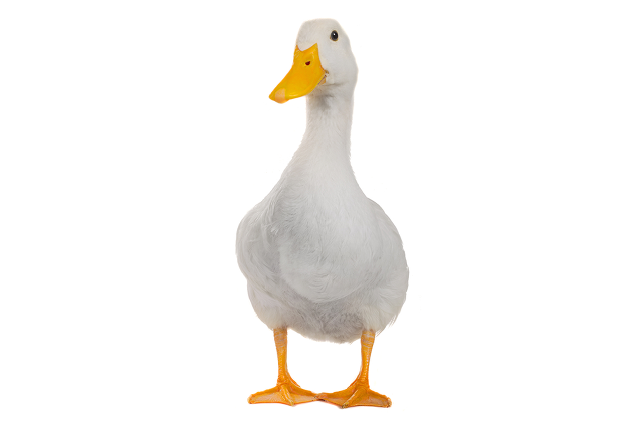 duckpng - A Picture Of A Duck