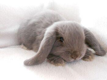 Grey bunnies