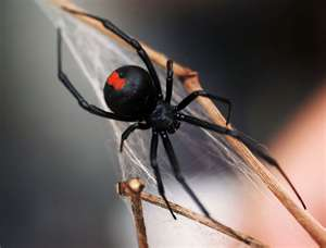 File:Black widow.jpg
