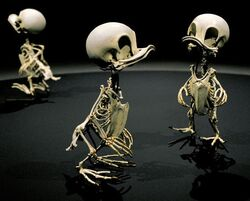 Squelette riri fifi et loulou