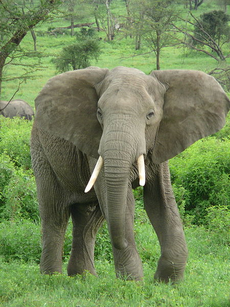 African Elephant (from Earth film)