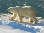 Polar Bear (from Earth film)