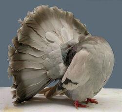 Fantailpigeon1