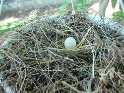 800px-Mourning Dove Egg