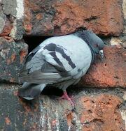 PigeonX