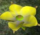 Goldene Königinblume