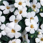 Bacopa 'abunda giant white'