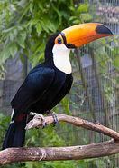 220px-Ramphastos toco -Birdworld, Farnham, Surrey, England-8a
