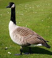 220px-Canada goose