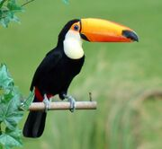 Toco-Toucan-Pictures