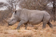 White Rhino From Africa