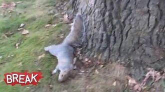 Drunk Squirrel Tries to Climb Tree - Break Fails