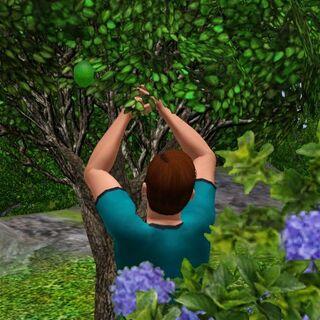Christopher dba o drzewo limonkowe