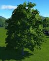Sycamore Tree 1