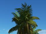 Acai Palm 2