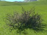 Creosote Bush 3