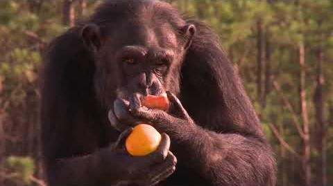 Ape Biology I Chimpanzee