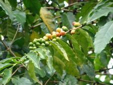 Starr 070308-5472 Coffea arabica