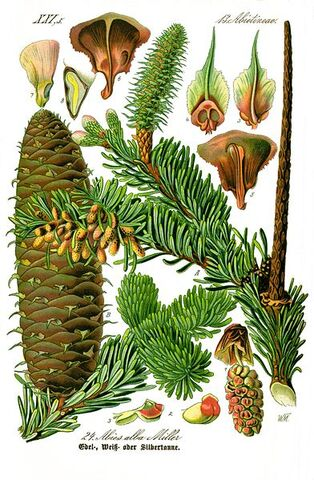 Fișier:Illustration Abies alba0 clean.jpg