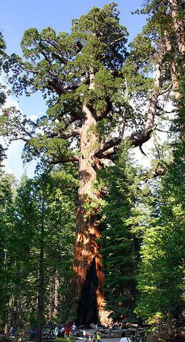 File:Giant Sequoia.jpg