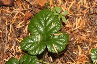 Rubus nivalis 0475