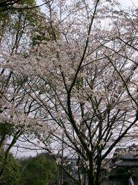 Prunus x yedoensis2