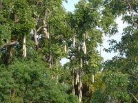 Kigelia africana in Murchison Falls National Park
