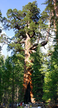 Grizzly Giant Mariposa Grove