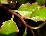 Amborella trichopoda 6