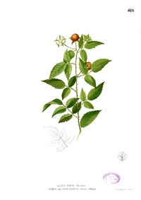 Rubus acuminatissimus Blanco2 416