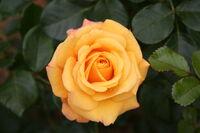 Rose Amber Flush 20070601