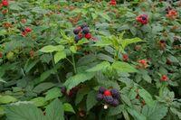 Korean raspberry 2008